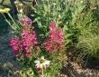 massif plantes vivaces en juillet.JPG